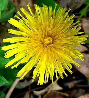 DandelionFlower1 Edible Wild Plants: Wild Plants You Can Eat For Survival