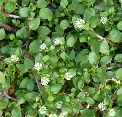 chickweed-edible wild plants